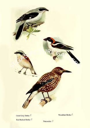 Great Grey Shrike, Red Backed Shrike, Woodchat Shrike & Nutcracker